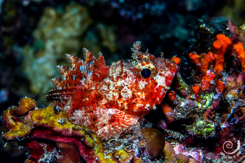 scorpionfish Diving Brijuni National Park Hippocampus Diving Center Istria