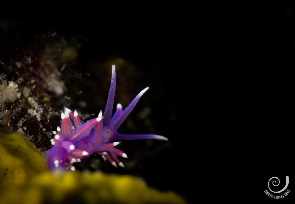 Pink Flabellina Become scuba Diver Hippocampus Diving Center Istria