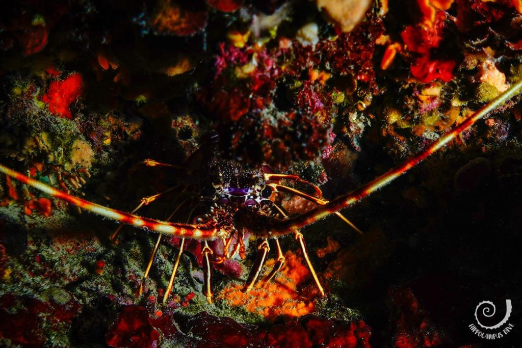 Spiny lobster at Bumbiste Hippocampus Diving Center Istria