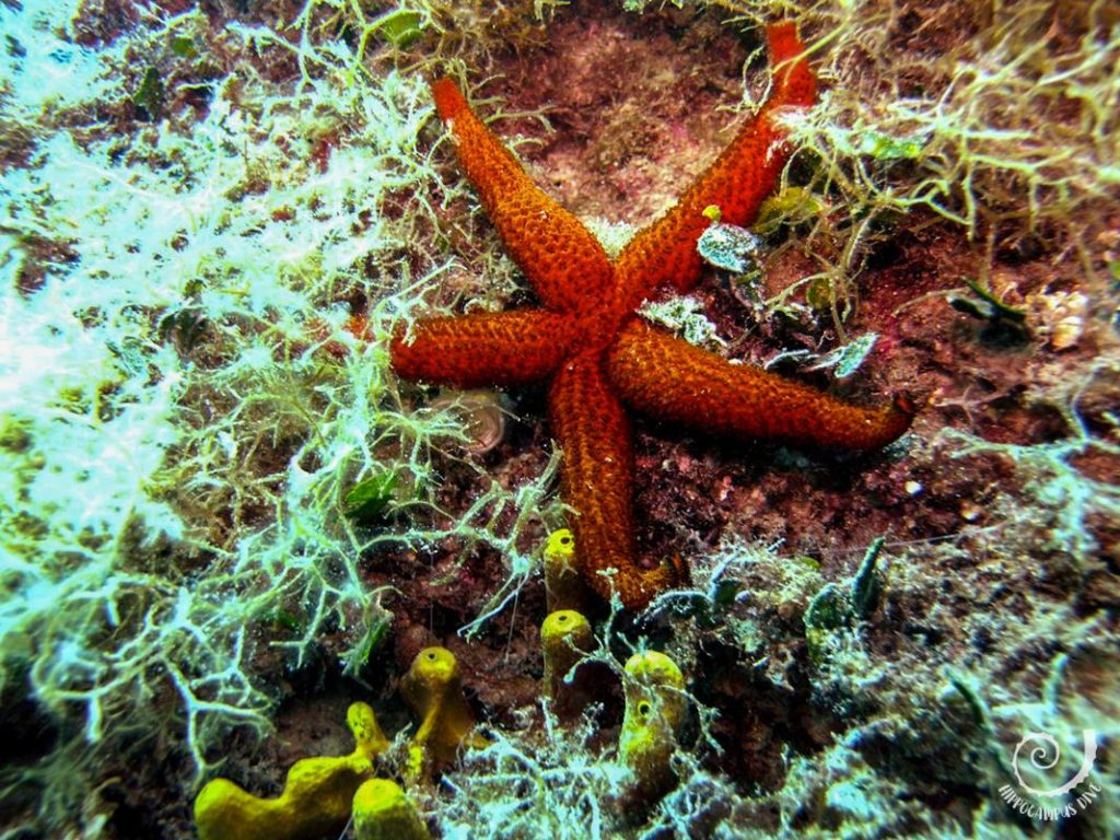 Red Starfish Hippocampus Diving Center Istria