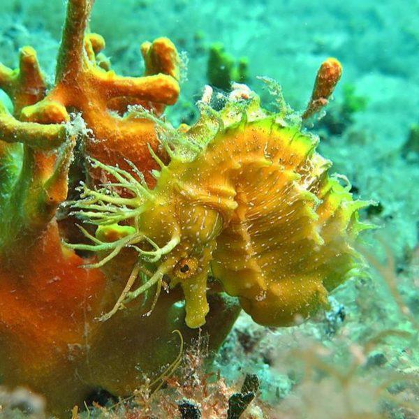 Morski konjić Bumbište Hippocampus Ronilački Centar Istra