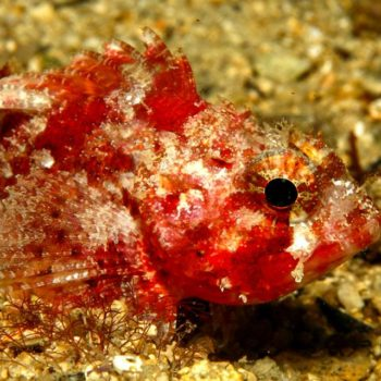 scorpionfish Hippocampus Diving Center Istria