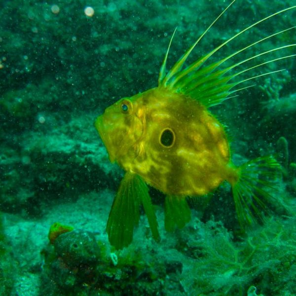 Riba Kovač Hippocampus Ronilački Centar Istra