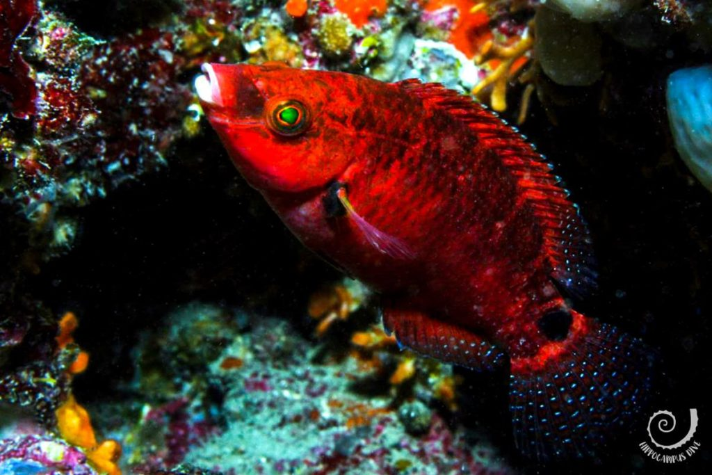 Red wrasse Diving Banjole, Pula Hippocampus Diving Center Istria