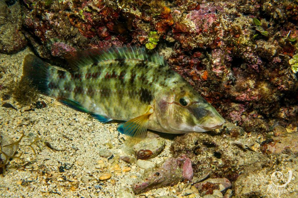 Peacock wrasse Hippocampus Diving Center Istria