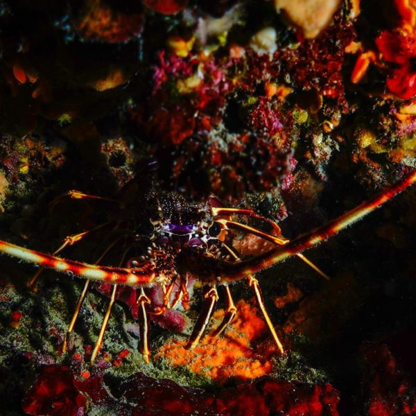 Spiny lobster at Bumbiste Hippocampus Diving Center