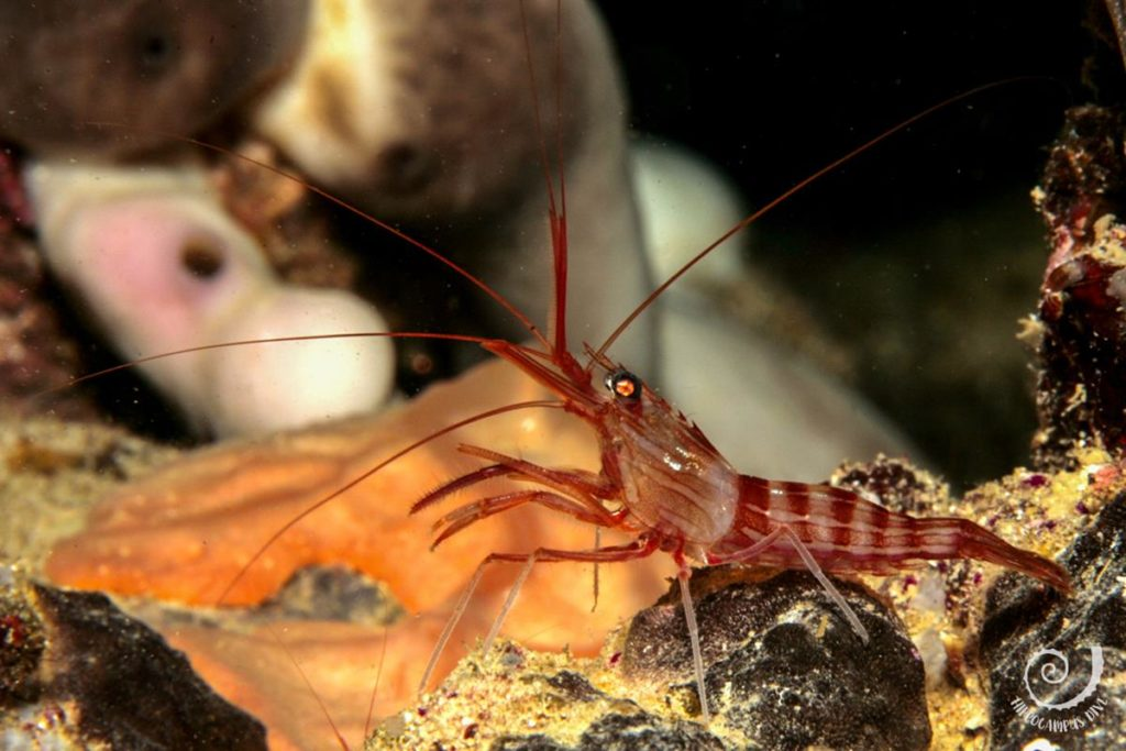 shrimp Bumbiste location Hippocampus Diving Center Istria