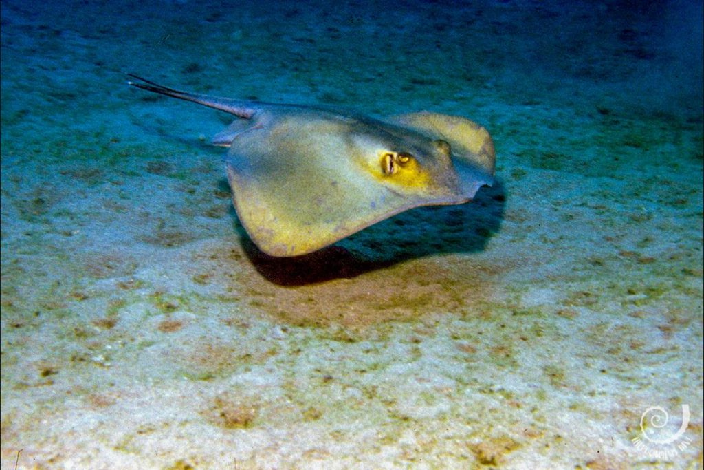 stingray Frasker Island Diving Croatia Hippocampus Diving Center Istria