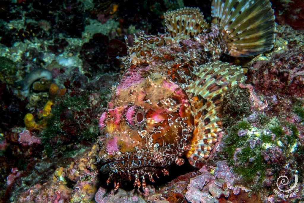 Scorpionfish Underwater Animals Hippocampus Diving Center Istria