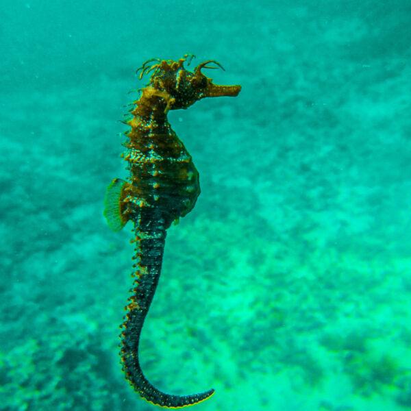 Diving Croatia Seahorse x